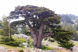 Cedar-of-Lebanon,-adr090510629-bibleplaces