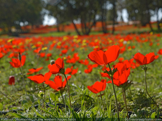 free_israel_photos_flowers_kalaniot_640